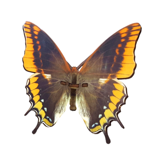 Butterfly – Charaxes Jasius – orange
