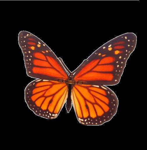 Butterfly – Danaus Plexippus – Orange