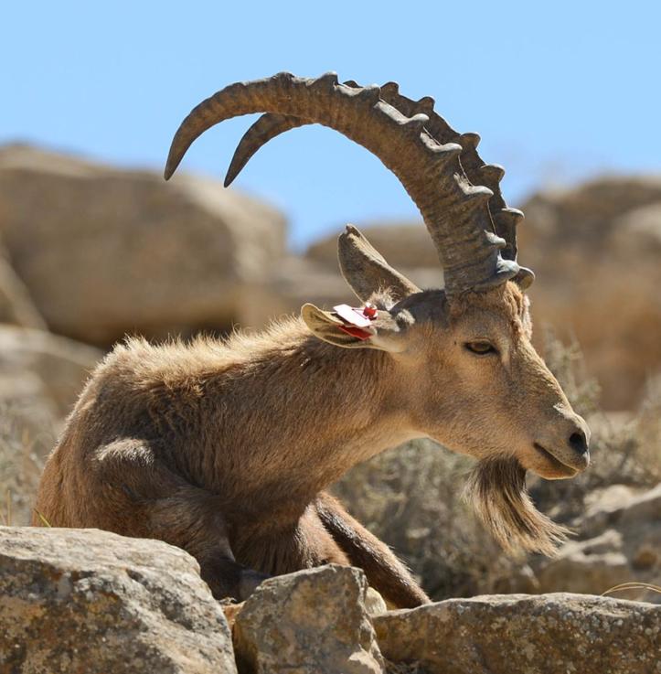 Ibex (DIY)