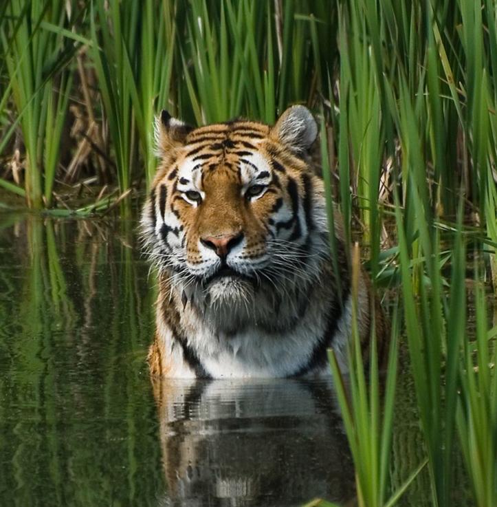 Tiger / colored