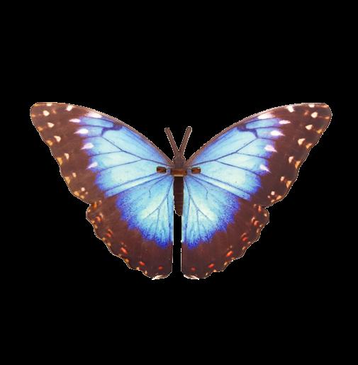 Butterfly – Morpho Peleides – blue